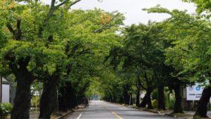2018年9月現在の夜ノ森の桜並木