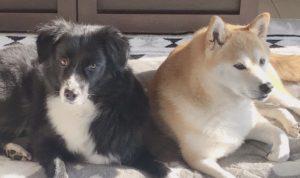 写真7 我が家の愛犬たち(著者撮影)
