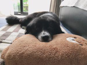 写真1 実家で引き取った譲渡犬の現在(著者撮影)