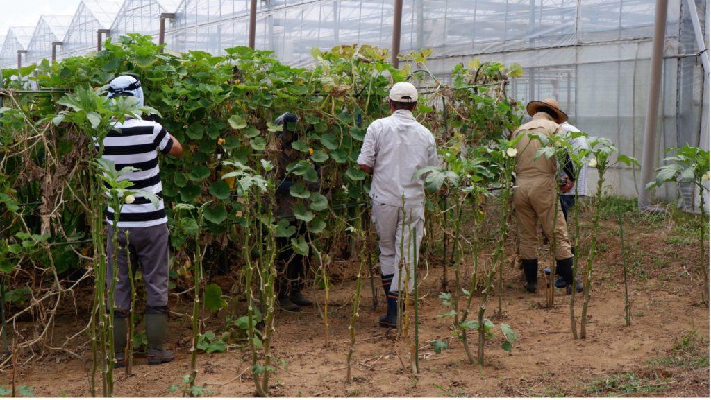 実際にカボチャの収穫を実践する参加者たち。