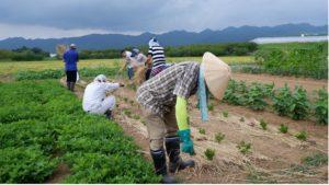 セロリ畑でのすきわらを実践。