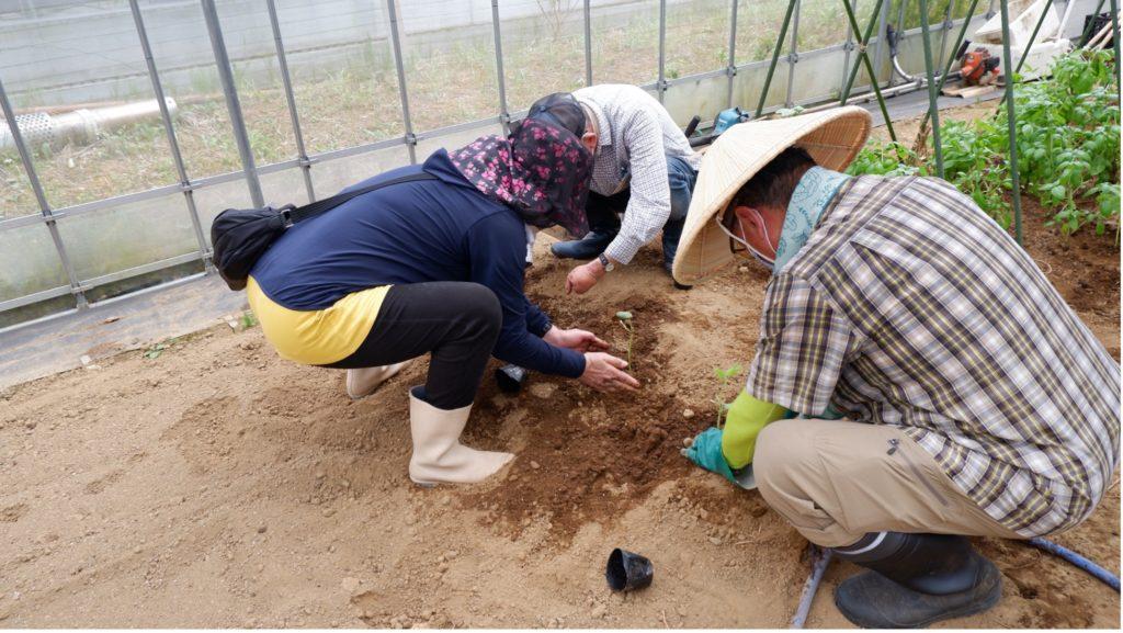 丁寧な手つきでキュウリの苗を定植する参加者たち。
