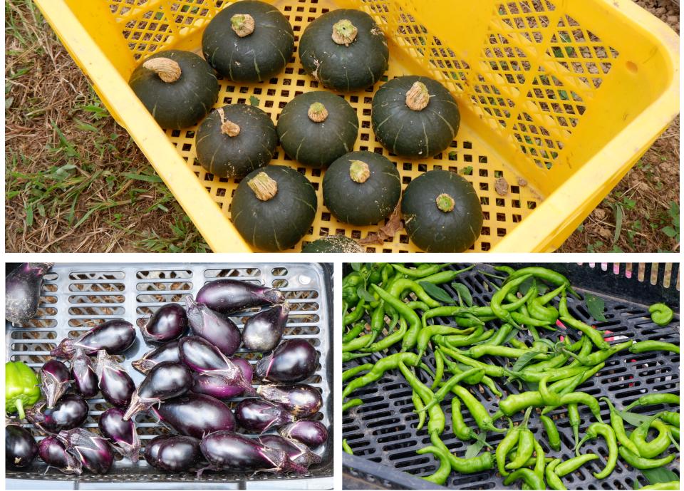 収穫した野菜。カボチャ以外にも、スケジュール予定にはなかったナスやししとうも収穫した。