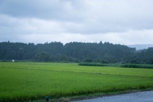 収穫を待つ、渡邊さんの田んぼ
