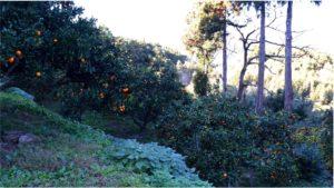 高橋さんご夫妻の手掛けるみかん園。当初は周りを覆う木々で十分な陽が当たらない状況だった。